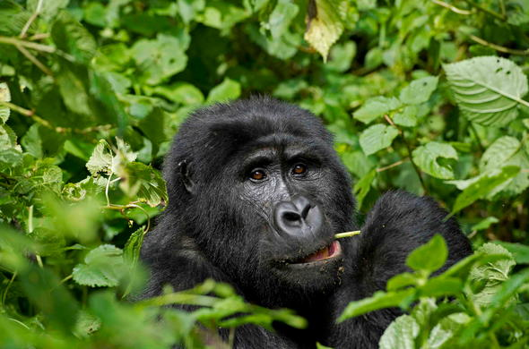 Meet the Mountain Gorilla on a Bwindi Gorilla Tour.