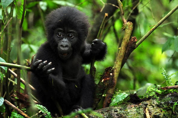 A baby gorilla in the lush Bwindi Impenetrable Forest.