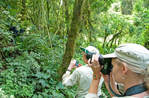 Thrilling gorilla trek in Bwindi Impenetrable Forest.