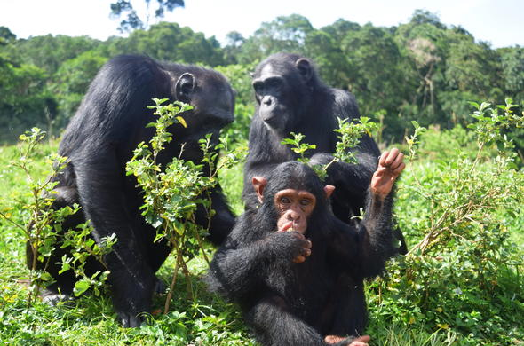 Meet the Chimpanzees of Ngamba Island in Uganda.
