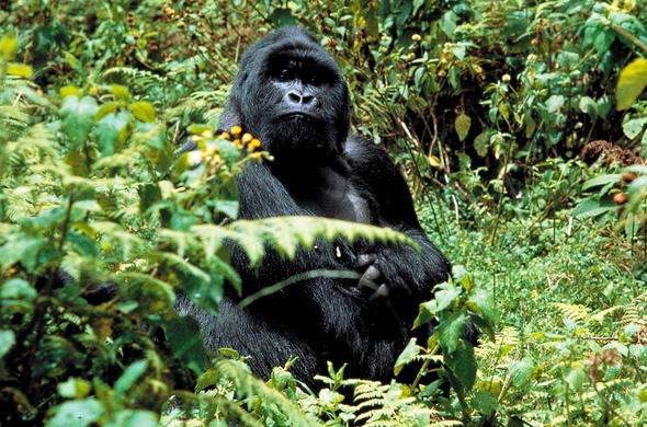 Enjoy gorilla trekking at Silverback Lodge.